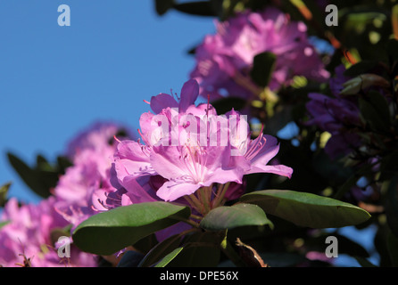 rhododendron bl ht im garten stockfoto bild 23480631 alamy. Black Bedroom Furniture Sets. Home Design Ideas