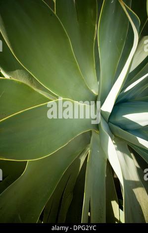 Aloe Vera Pflanze Pflanzen Sukkulenten Sukkulenten Königreich Plantae Clade Angiospermen Clade Monokotyledonen Bestellung Scilloideae Familie Xanthorrho Stockfoto
