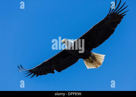 Adler fliegen, Alaska - Stockfoto