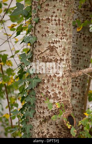 Stamm und Rinde der Silberpappel Populus alba - Stockfoto
