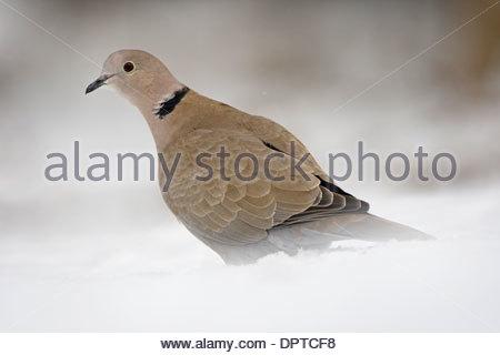 Eurasian Collared Dove (Streptopelia Decaocto) auf Nahrungssuche im Schnee im winter - Stockfoto