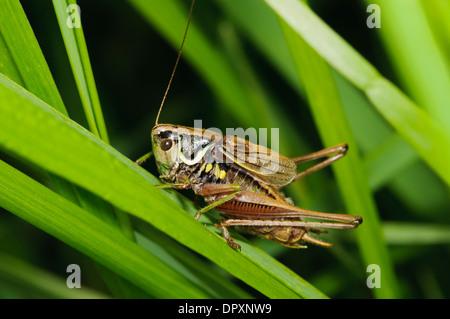 Rösel von Bush-Cricket (Metrioptera Roeselii), Männchen, kletterten durch Rasen bei West Canvey Sümpfe, Essex. September. - Stockfoto