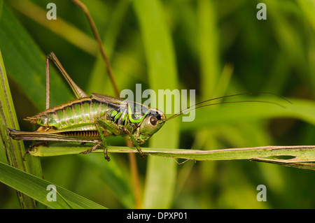Rösel von Bush-Cricket (Metrioptera Roeselii), erwachsenes Weibchen Klettern durch Rasen bei West Canvey Sümpfe, - Stockfoto