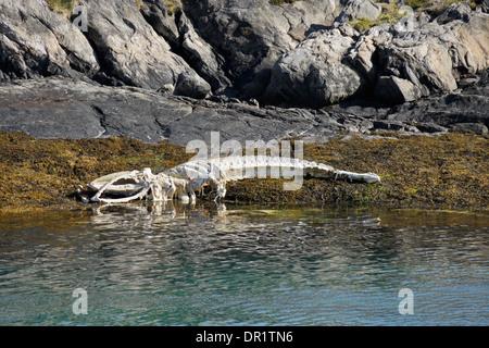 Walskelett liegen am Ufer, Westgrönland - Stockfoto