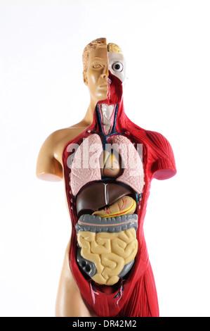 Anatomie-Modell des menschlichen inneren Organe Stockfoto, Bild ...
