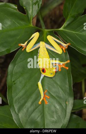 Rotäugigen Baumfrosch (Agalychnis Callidryas) auch bekannt als rote-Augen-Blatt Frosch - Stockfoto