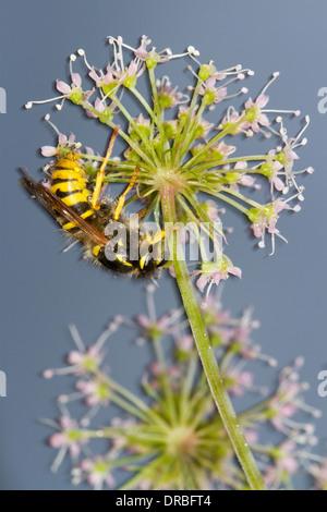 Baum-Wasp (Dolicovespula Sylvestris) Erwachsenen Arbeiter auf einer ...