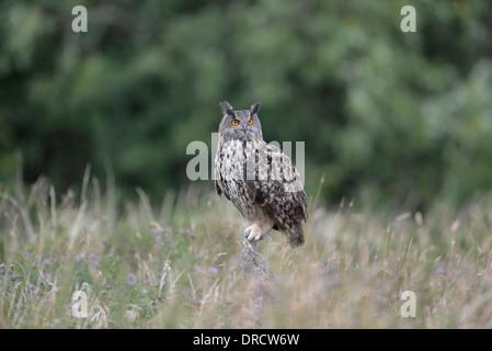 Europäische Uhu (Bubo Bubo) thront auf einem Pfosten. Dieser Schuss ist ein Gefangener Vogel. - Stockfoto