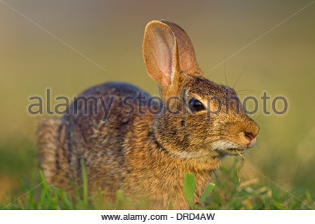 Östlichen Cottontail (Sylvilagus Floridanus) Kaninchen in Grünland, Nordamerika - Stockfoto