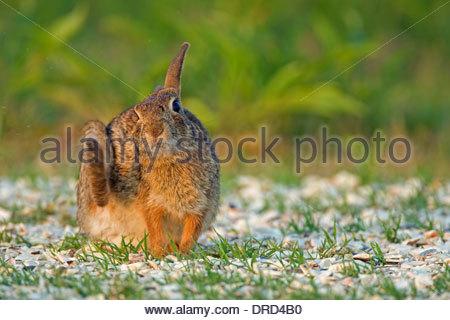 Östlichen Cottontail (Sylvilagus Floridanus) Kaninchen kratzen Ohr mit Hinterbein im Grünland, Nordamerika - Stockfoto