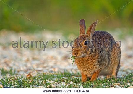 Östlichen Cottontail (Sylvilagus Floridanus) Kaninchen Essen Grass, Nordamerika - Stockfoto