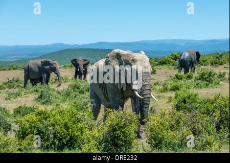 Elefanten (Loxodonta Africana) ernähren sich von Büschen, Landschaftsansicht der Addo Elephant Park, Eastern Cape, - Stockfoto
