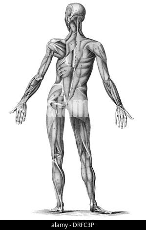 Menschlichen Muskel Anatomie - männliche Muskeln von Rücken hinten ...