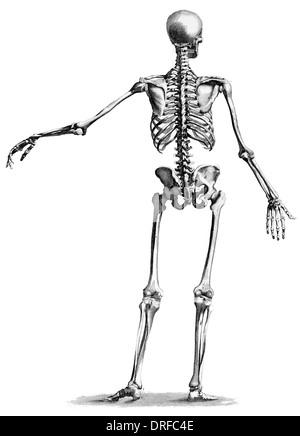 Menschliches Skelett, anatomische Abbildung, 19. Jahrhundert ...