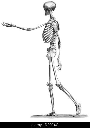 Menschliches Skelett stehend Anatomie, Gravur XIX. Jh Stockfoto ...