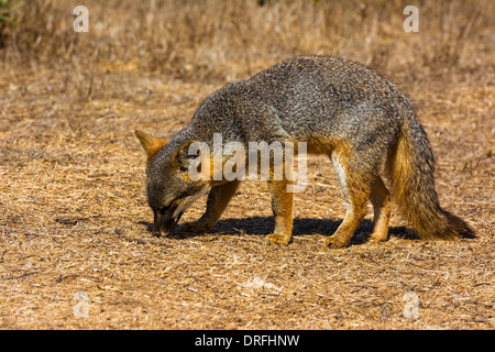 Fuchs (Urocyon Littoralis), Insel Insel Santa Cruz, Channel Islands Nationalpark, Kalifornien USA - Stockfoto
