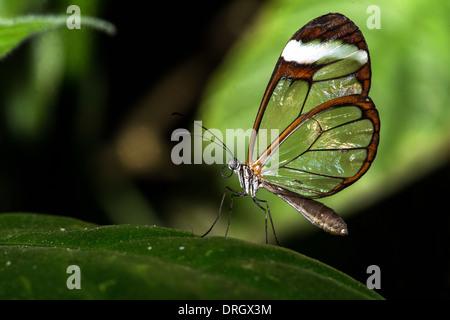 Glas Flügel Schmetterling - Stockfoto