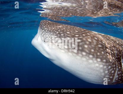Ein Walhai schwimmt ruhig durch - Stockfoto