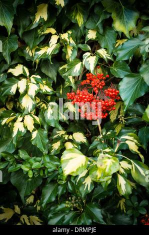 Roten Pyracantha Beeren vermischen sich mit bunten Efeu wächst eine Wand im Königreich - Stockfoto