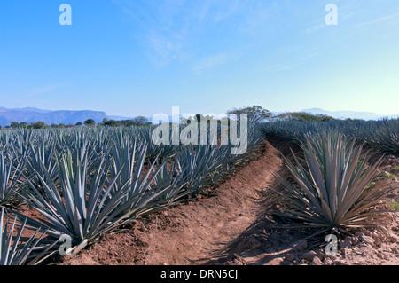 Reihen der blauen Agave Pflanzen in Tequila Produktion Feld außerhalb tequila Mexiko - Stockfoto