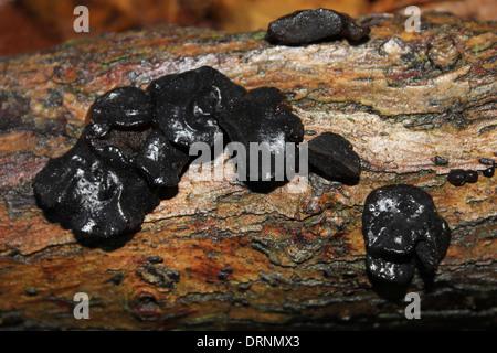Schwarz, Bulgar, Bachelor's Buttons oder Gummiknöpfen - Bulgarien inquinans - Stockfoto