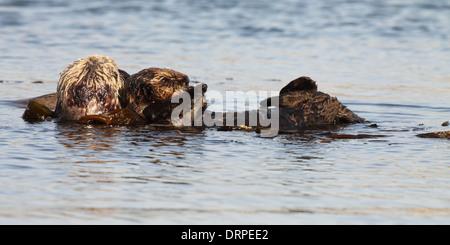Eine Mutter hält ihr Baby beim schweben im Pazifischen Ozean Seeotter. - Stockfoto