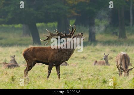 Rothirsch (Cervus Elaphus), brüllen 14 Punkt Hirsch mit seinen Harem an einem nebligen Tag im Grünland in der Nähe - Stockfoto