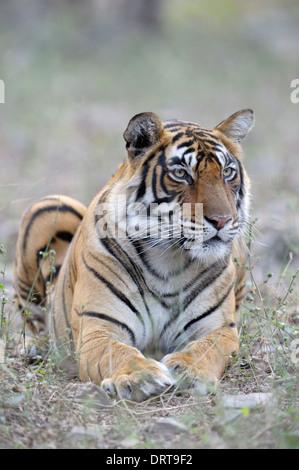 Bengal-Tiger (Panthera Tigris Tigris) liegen im Wald, Ranthambhore National Park, Rajasthan, Indien. - Stockfoto