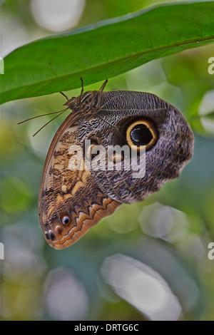 Eule Schmetterling auch bekannt als blass oder Riesen Eule Schmetterling Caligo Memnon aus der Familie der Edelfalter - Stockfoto