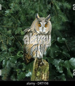 Long-eared Eule Asio otus - Stockfoto