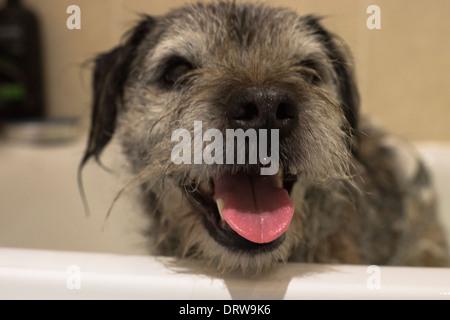 Border Terrier inländische Hund Bad shampoo - Stockfoto