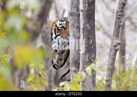 Bengal Tiger (Panthera Tigris Tigris) Porträt zwischen den Büschen, Ranthambhore National Park, Rajasthan, Indien. - Stockfoto