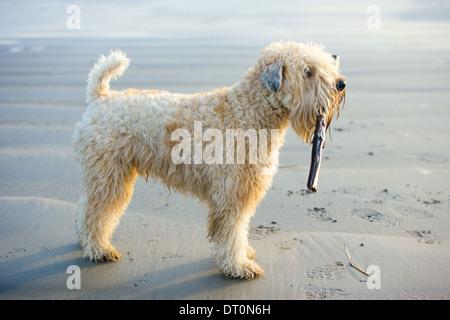 Eine nasse wheaten Terrier trägt einen Stock am Strand - Stockfoto