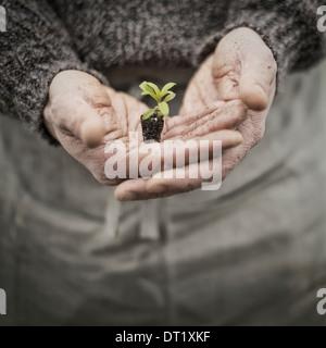 Eine Person in einem kommerziellen Gewächshaus einen kleine Pflanze Setzling in seiner hohlen Hand halten - Stockfoto