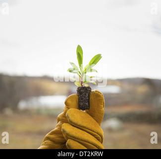 Bio-Bauernhof im Winter im kalten Frühling New York Staat A behandschuhten Hand hält eine kleine neue Keimling mit - Stockfoto