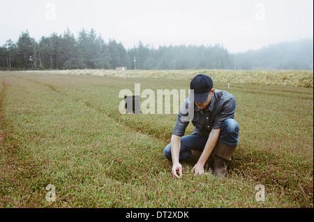 Eine Cranberry Farm in Massachusetts Kulturen in die Felder A junger Mann arbeiten auf dem Land, die Ernte der Erntegutes