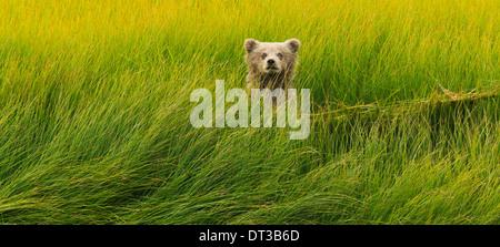 Brown Bear Cub, Lake-Clark-Nationalpark, Alaska, USA - Stockfoto
