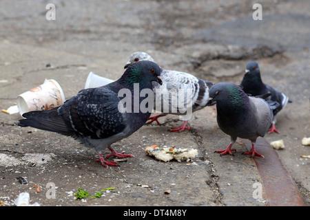 Tauben (Columba livia domestica) und Lebensmittelreste - Stockfoto