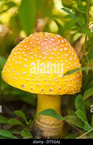 Gelbe Form der Fliege Agaric Pilz, Amanita Muscaria, wächst zwischen Sträuchern, Bon Echo Provincial Park, Ontario - Stockfoto