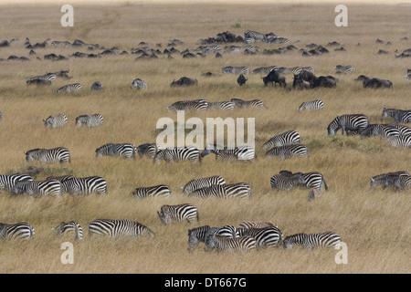 Grant Zebras und Gnus, Kenia - Stockfoto