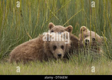 Brown Bear Cubs, Lake-Clark-Nationalpark, Alaska, USA - Stockfoto