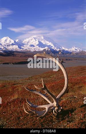 Tundra und Caribou Geweih im Denali-Nationalpark, Alaska im Herbst. Mount McKinley im Hintergrund. - Stockfoto