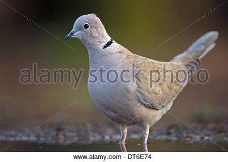 Porträt von Eurasian Collared Dove (Streptopelia Decaocto) stehen im flachen Wasser des Teiches - Stockfoto