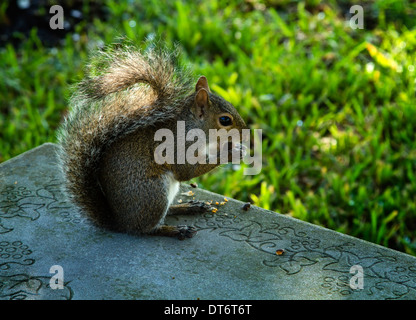 Eine östliche graue Eichhörnchen (Sciurus Carolinensis) sitzen auf einer Bank, eine Eichel zu genießen. - Stockfoto