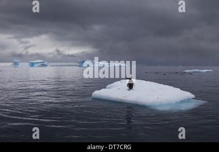 Gentoo Penguin auf einem Eisberg Antarktis - Stockfoto