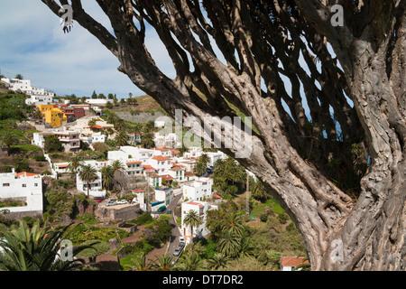 Drago Baum (Dracaena Draco) in Taganana Dorf in das Anaga-Gebirge im Norden von Teneriffa, Kanarische Inseln - Stockfoto