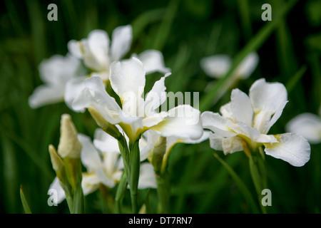 Iris 'White Swirl' / sibirische Iris Blume - Stockfoto