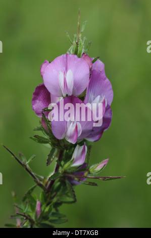 Stachelige Restharrow (Ononis Spinosa) Nahaufnahmen von Blumen, Hadleigh Country Park, Essex, England, Juli - Stockfoto