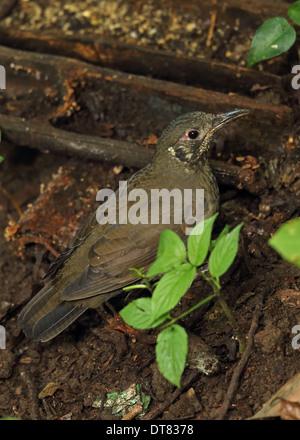 Dunkel-seitig Soor (Zoothera Marginata) Erwachsene ernähren sich von Waldboden Doi Inthanon Nationalpark Chiang - Stockfoto