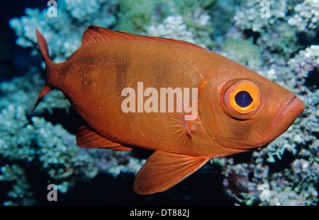 Goggle-Eye, Great Barrier Reef - Stockfoto